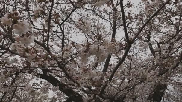 Kvetoucí třešeň v parku u rybníka za denního světla