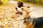 Welsh corgi Pembroke na procházce v parku na pěkný teplý podzimní den. Dvou různých plemen psů hrát venku, mnoho padlo žluté listy na zem. Kopie prostor, pozadí.