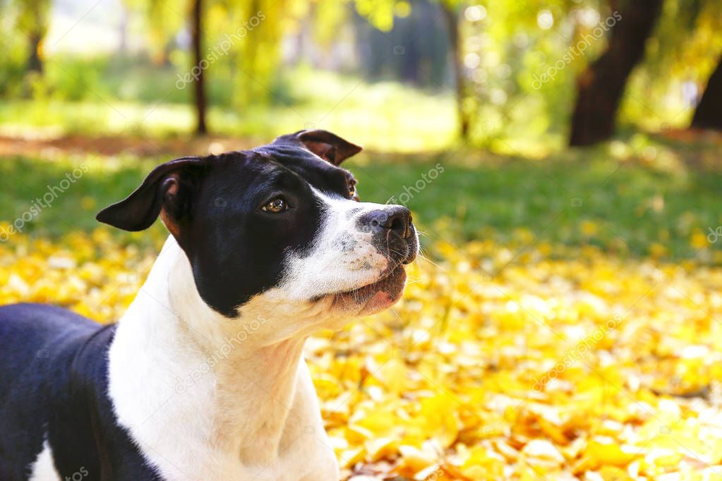 Happy black and white american staff terrier on a walk in the park on nice warm autumn day. Young dog with masculine look outdoors, many fallen yellow leaves on ground. Copy space, background.