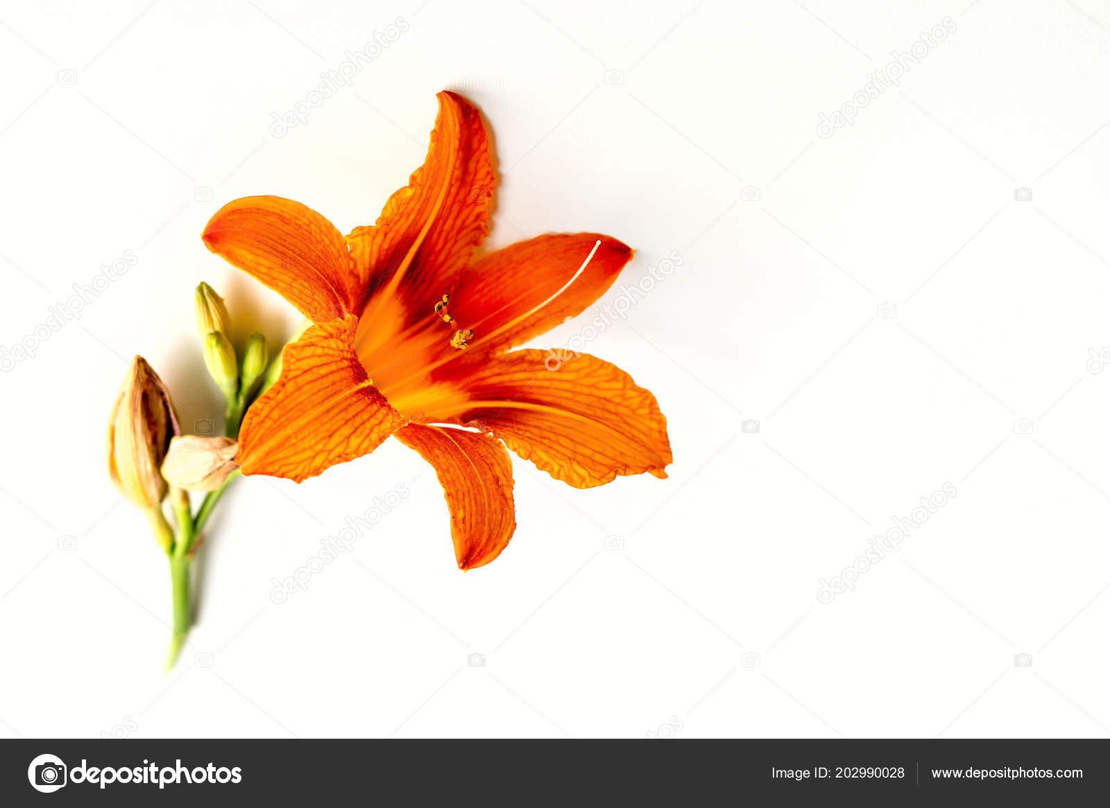 Fleur Lys Orange Fleur Bourgeon Fond Blanc Photographie Yusafa
