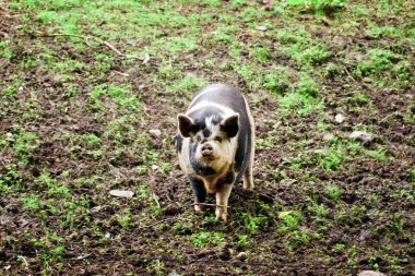 Plump beautiful pig on field in free grazing.