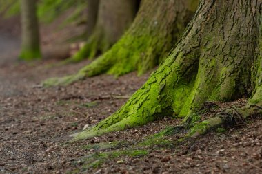 Mystical Woods, Natural green moss on the old oak tree roots.