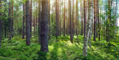 Forest landscape with a blueberry field in a pine forest. Panoramic photo.