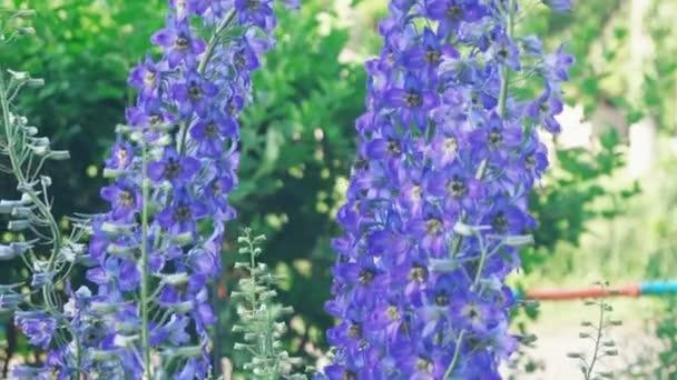 modrá wildflower, opylující květ velký čmelák, Delphinium konsolidace, konsolidace regalis