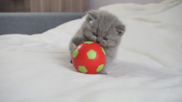 a kis brit cica játszik a piros labdát
