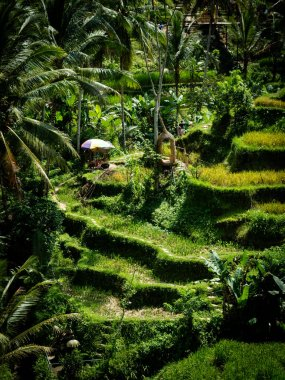 The beautiful Tegalallang rice terraces near Ubud in Bali