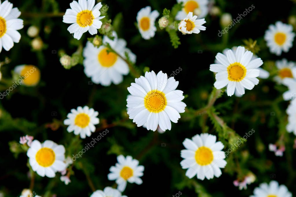 wild chamomile flowers growing on green meadow
