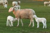 agnelli svegli e pecore che pascono sul prato verde