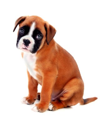 cute boxer puppy isolated on white background