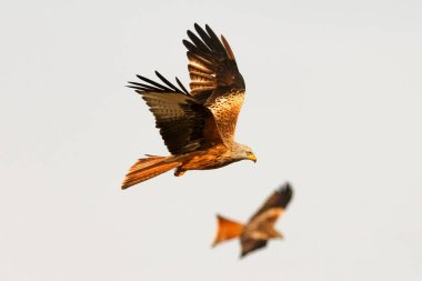 amazing birds of prey in flight, blue sky of background