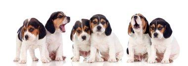 six beautiful beagle puppies isolated on white background