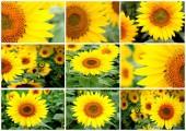 Sekvence nádherných slunečnic s krásnou barvou