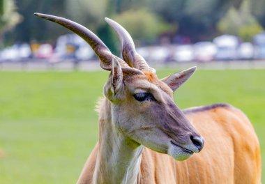 Large male eland antelope