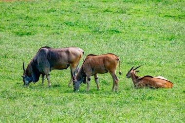 Large male eland antelopes