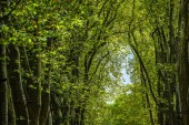 Fotografie  Alley with green trees in the forest