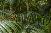 Foglie di Palma tropicale, priorità bassa verde della foresta pluviale