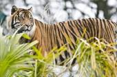 Fotografie Tiger vidět přes zelené palmového listí