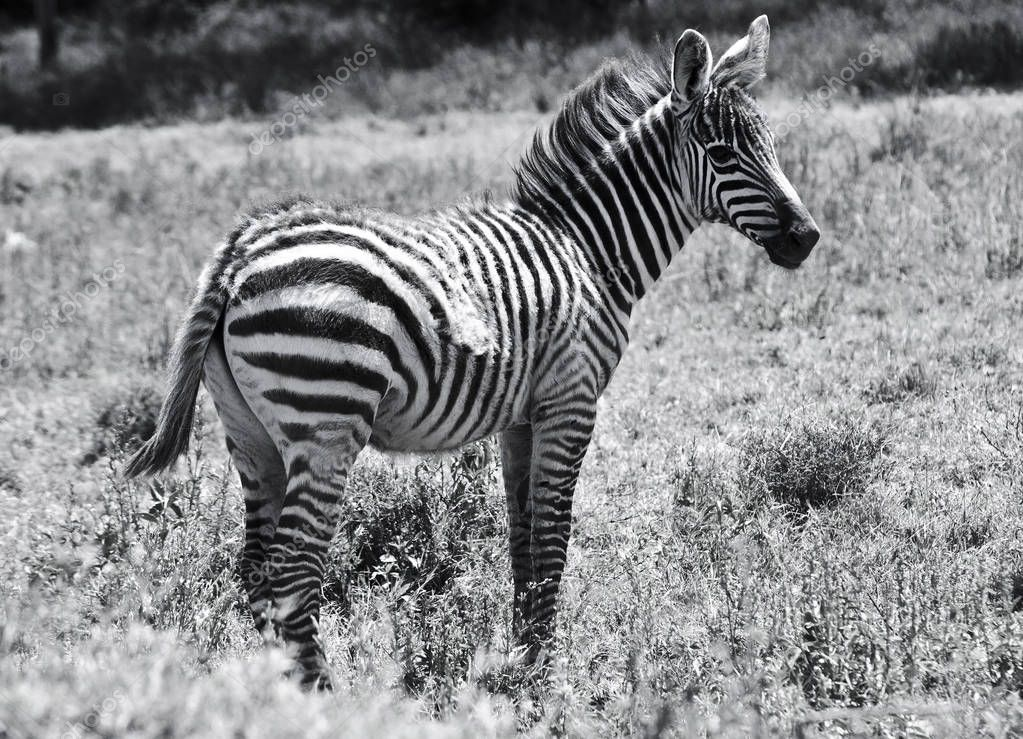 black and white shot of beautiful zebra in field