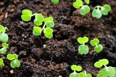 Microgreens growing urban farming rack organic sprout trays