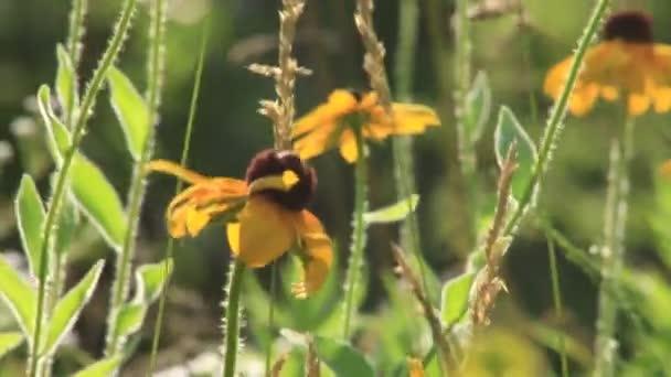 Černooký Susan-květinové video ve větru