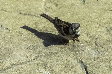 The house sparrow (Passer domesticus) - Varadero, Cuba