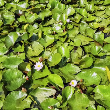 Water lilies (nymphaeaceae or lily pad) in Shefield Lake - Uckfield, United Kingdom