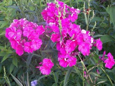 Phlox is a genus of flowering herbaceous plants of the Sinuhov family