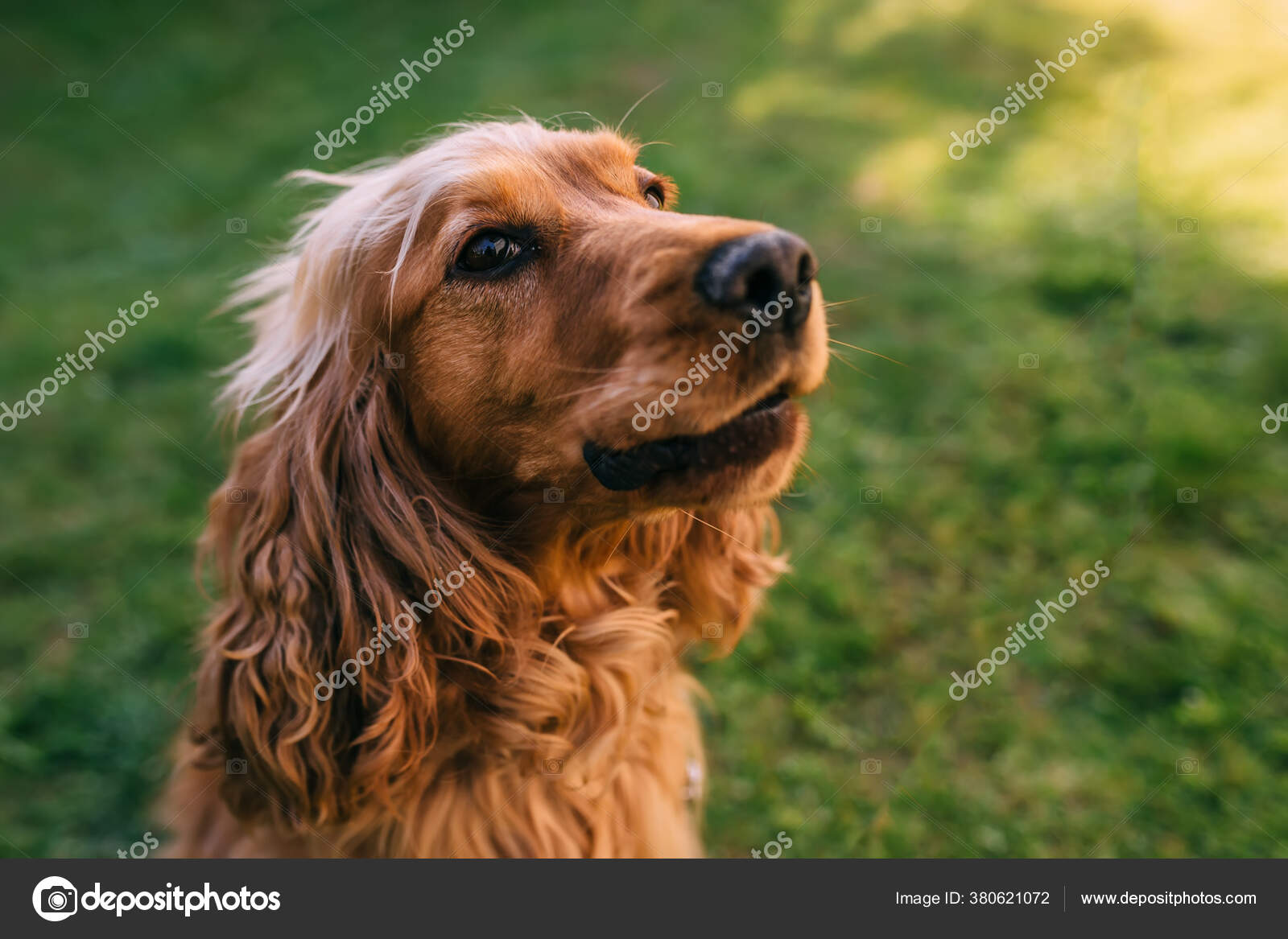 ᐈ Cocker Spaniel Gold Stock Images Royalty Free Cocker Spaniel Pictures Download On Depositphotos