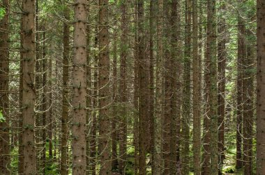alpine firs texture in italians wood