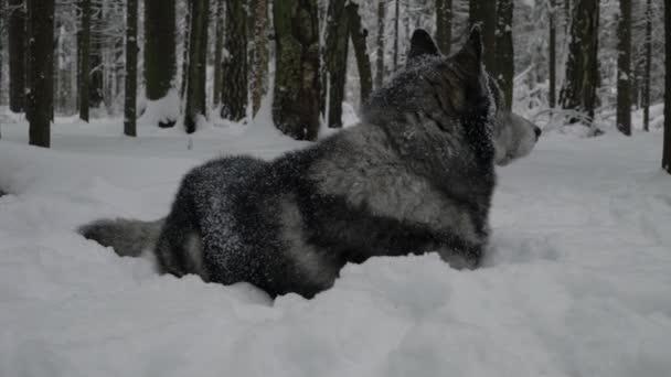 Husky leží ve sněhu a kroutí hlavou