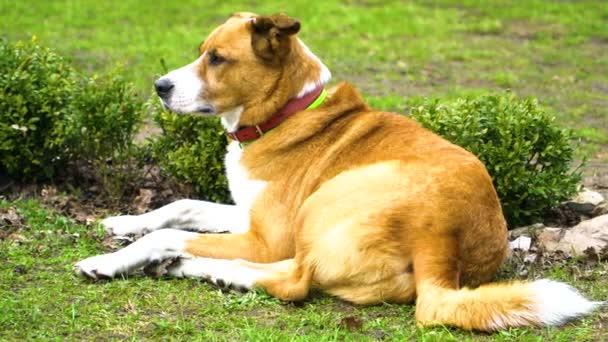 Rudý pes ležící na trávě, vrčící ocasem, odstřeluje