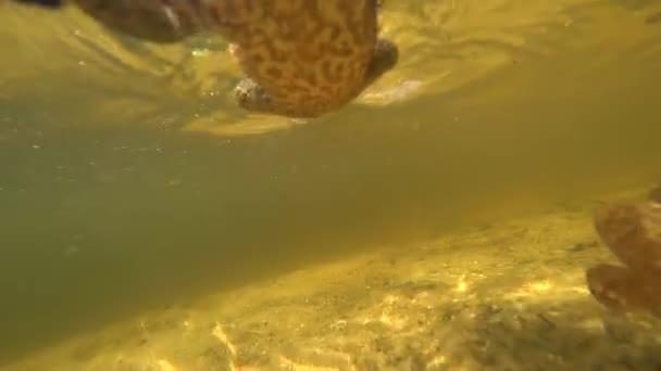 Kröte springt unter Wasser auf die Kamera und bewegt sich mit.
