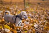štěně v podzimním parku