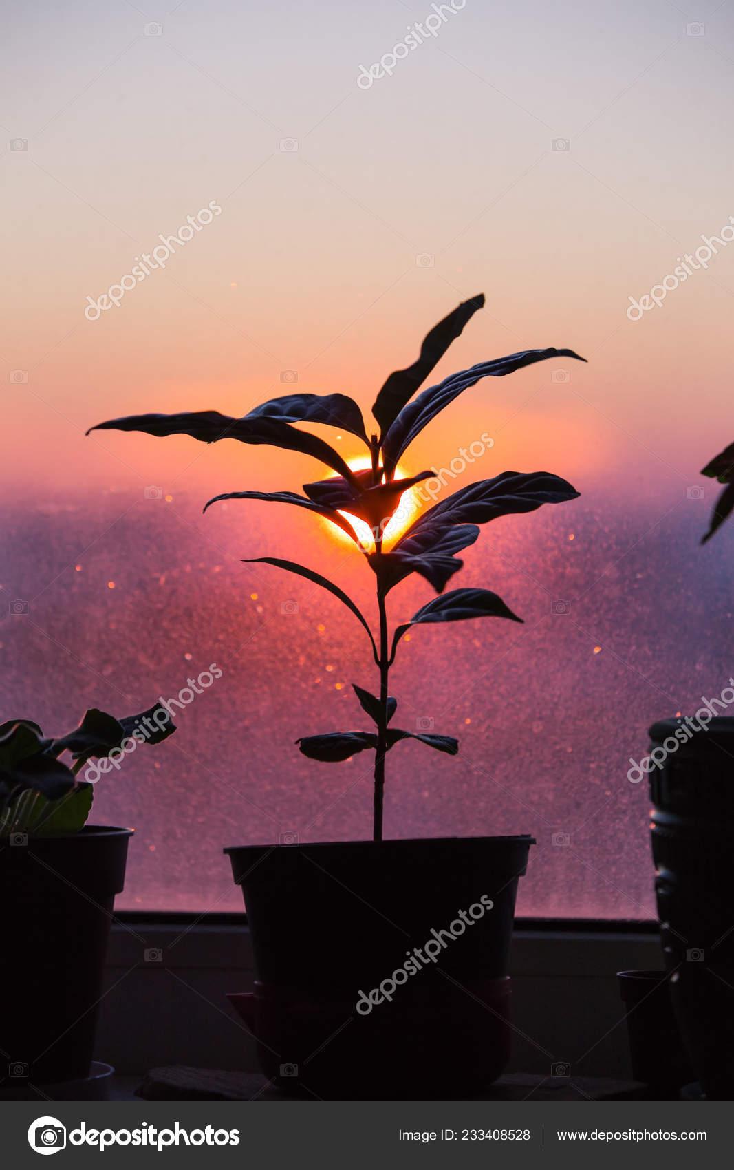 https://st4.depositphotos.com/14740706/23340/i/1600/depositphotos_233408528-stock-photo-coffee-plant-pot-stands-window.jpg