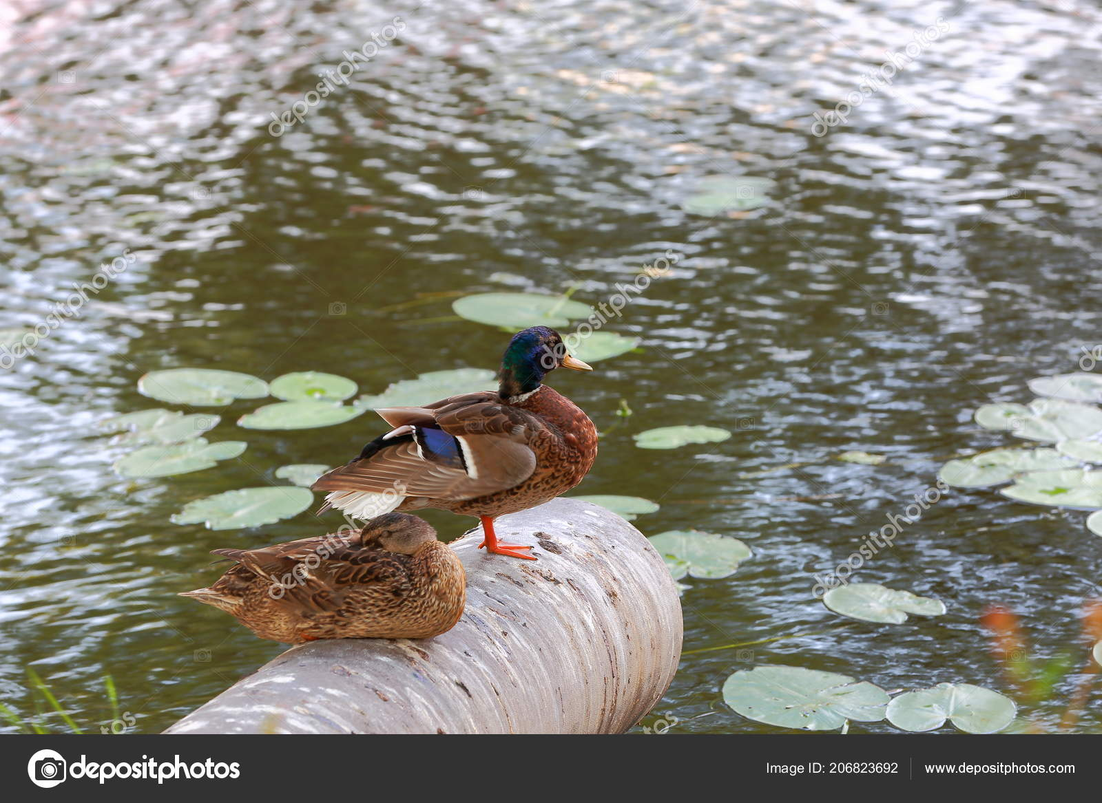 Closeup View Two Cute Ducks Isolated Water Surface Background