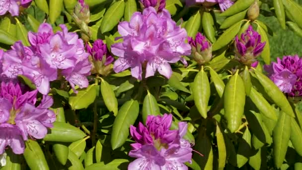 Close up view of rhododendron flower blooming on green grass background. Beautiful backgrounds.