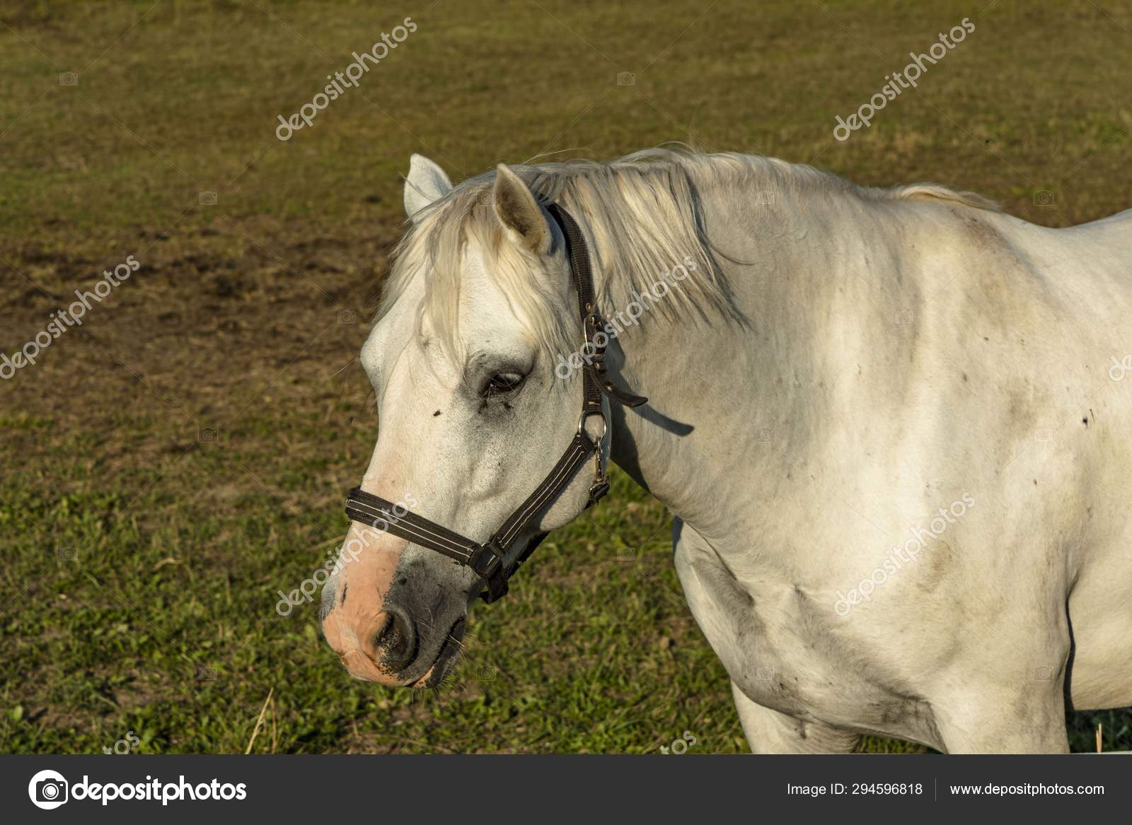 Close View Cute White Horse Green Field Background Beautiful Animals Stock Photo C Mulevich 294596818