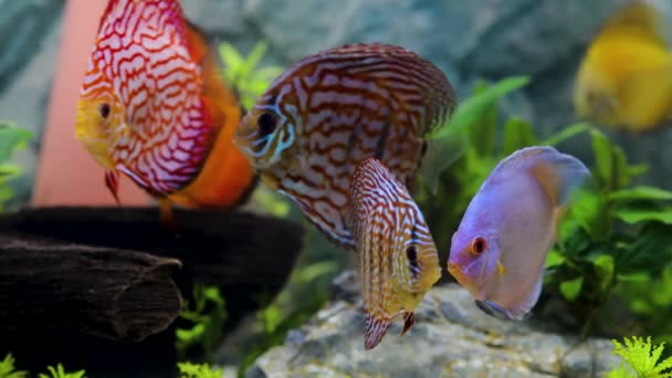 Close up view of discus fish swimming in planted aquarium. Tropical fishes.  Hobby concept.