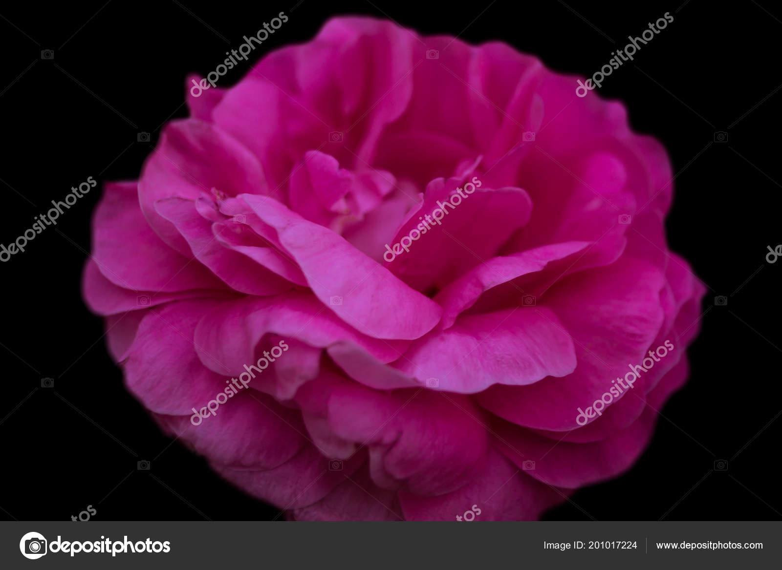 Fiore Una Peonia Colore Rosa Sfondo Nero Con Una Piccola Foto