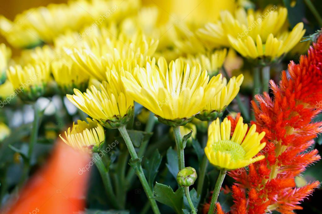 Closeup yellow flowers and orange in the small garden for show in music and winter flowers festival., Lampang Thailand.