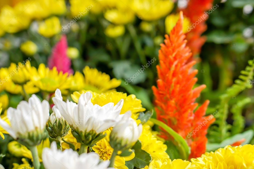 Colorful flowers in the small garden for show in music and winter flowers festival., Lampang Thailand.