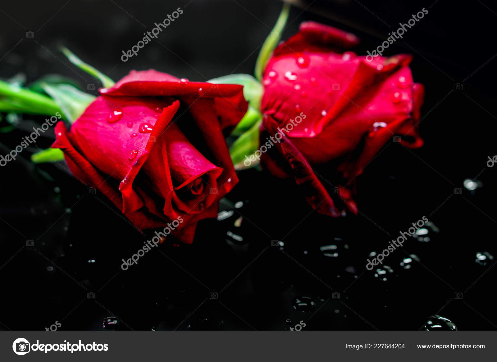 Closeup Young Red British Roses Dew Drops Black Background Stock Photo C Kornkarinv Gmail Com 227644204