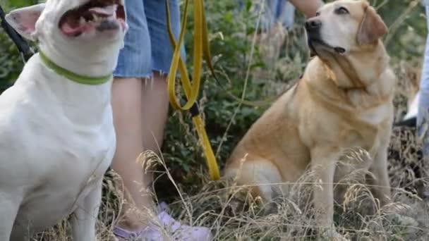 dva psi bílý americký pit bull teriér a zlatý labrador retriever v parku