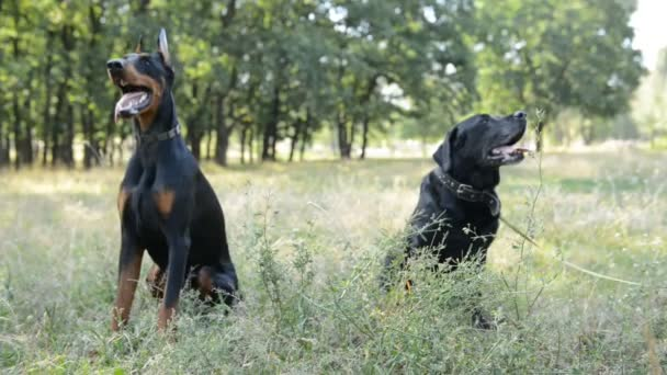 two dogs black labrador retriever and doberman sitting in the natural park
