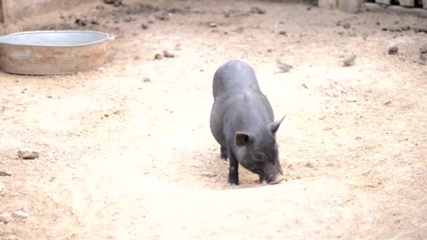 Farmer fekete disznó a farmon ásni homok