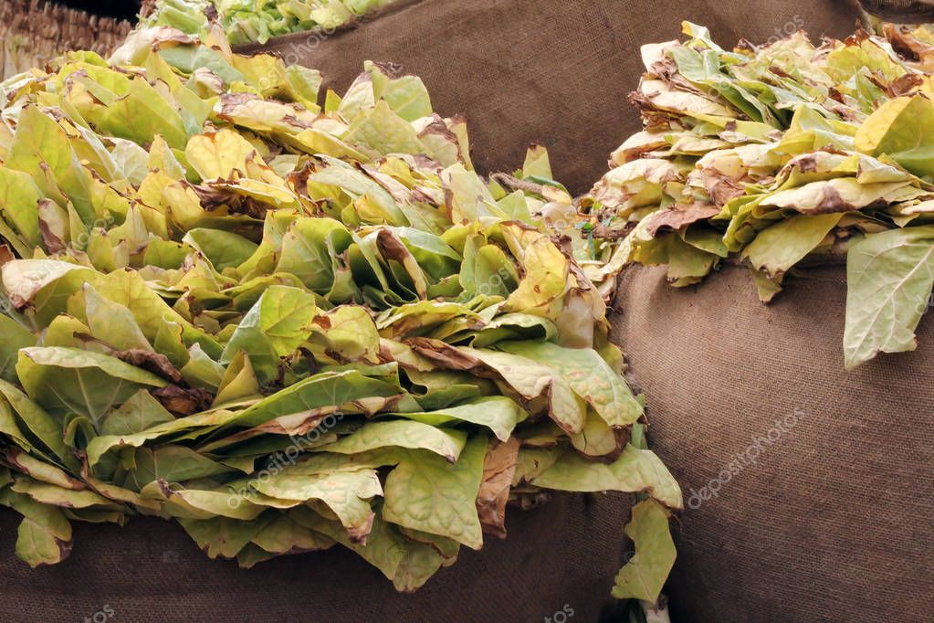 Tobacco leaves in a bags after harvest