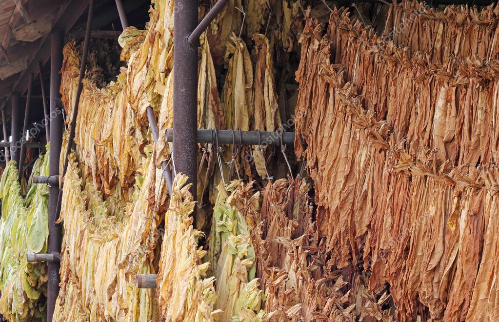Drying tobacco leaves hanging in a barn before processing