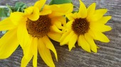 Flowers of a sunflower on a wooden background.