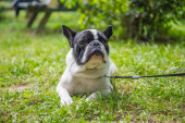 Francia Bulldog portré. Gyönyörű kutya..