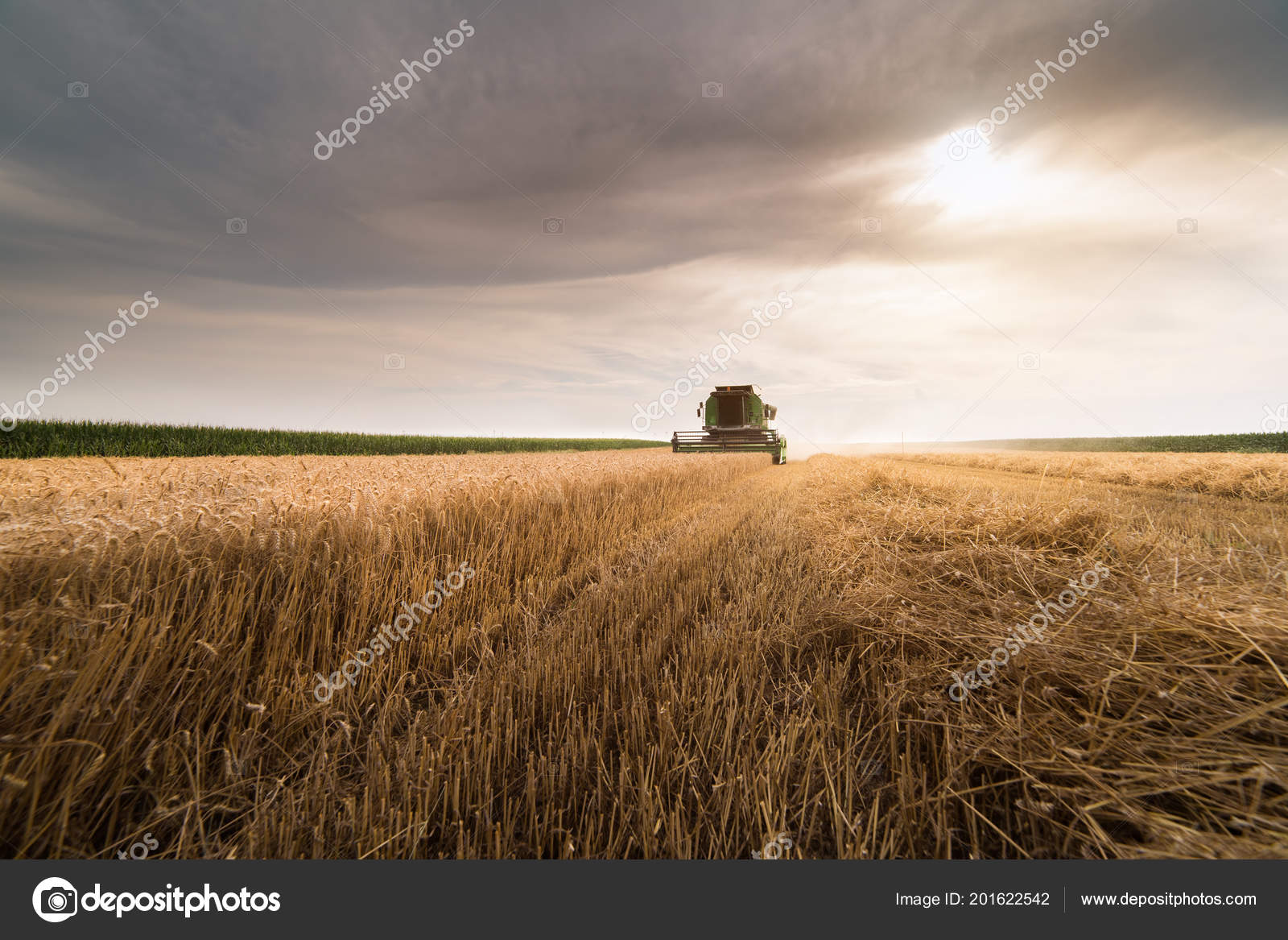 Harvesting Wheat Field Combine Early Summer Stock Photo